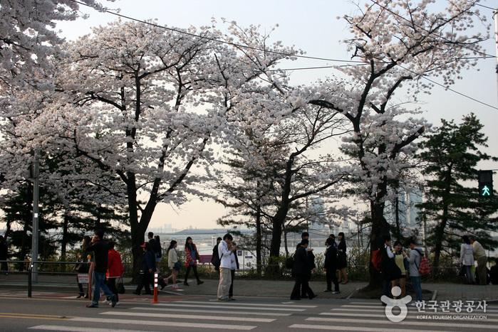영등포여의도봄꽃축제 2017 사진7