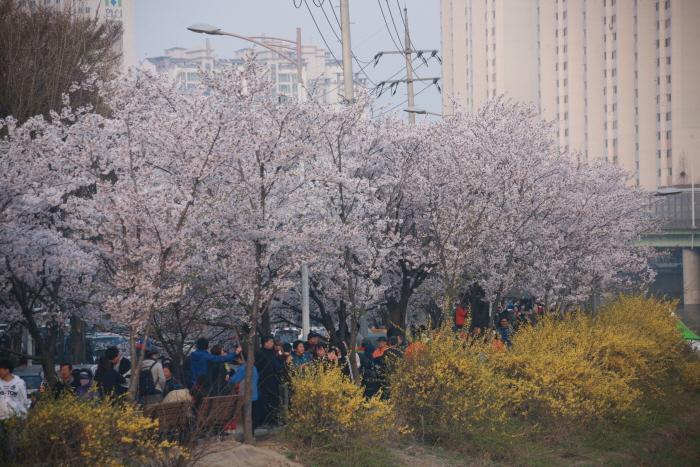 안양충훈 벚꽃축제 2017