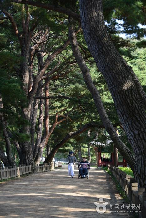 둑길에 조성된 천년의 소나무길