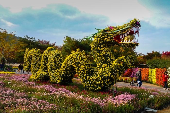 국화축제(대구수목원 제공) - 용의 형태로 이루어진 국화꽃
