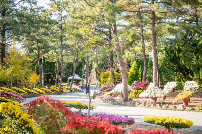 한림공원 국화축제 2019