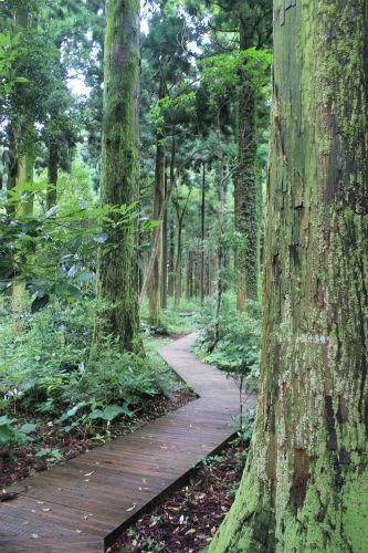 사려니숲길 삼나무전시림