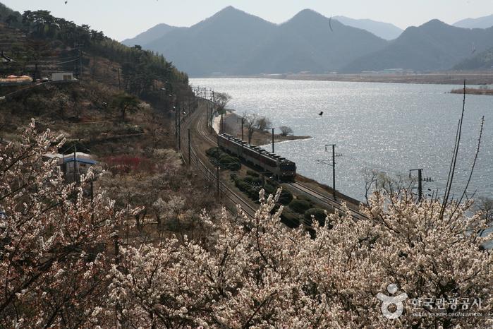 매화, 낙동강, 기차가 어우러진 풍경