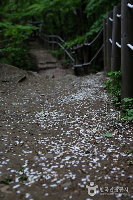 귀룽나무꽃잎이 떨어져 운치있는 탐방로