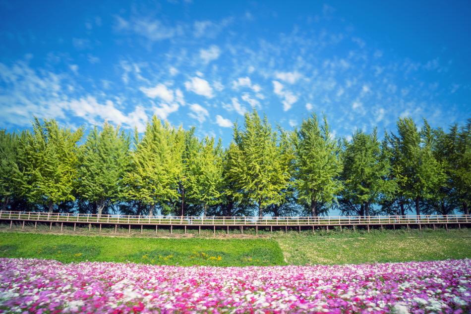 아산 은행나무길 ㅊ행나무 문화예술의 거리