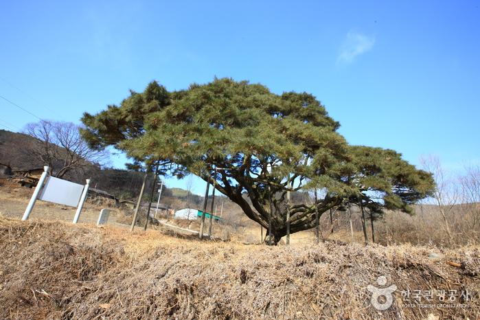 예천 사부리소나무