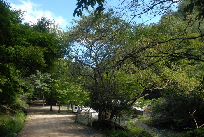 강천사 모과나무