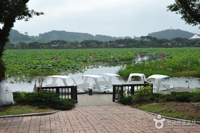 Hoesan White Lotus Habitat (무안회산백련지)