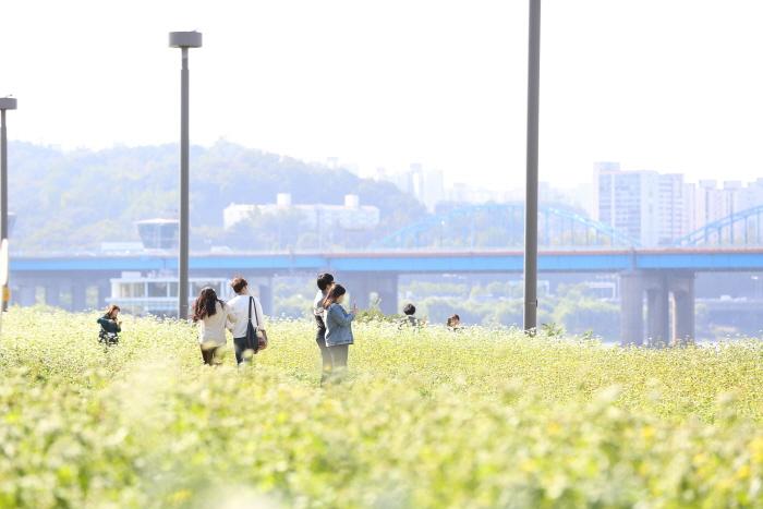 Hangang Seoraeseom Rapsblütenfestival (한강 서래섬 유채꽃축제)