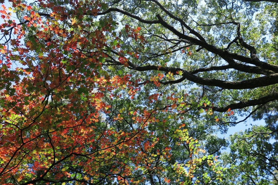 속리산 오리숲길의 단풍나무가 붉게 물들었다.