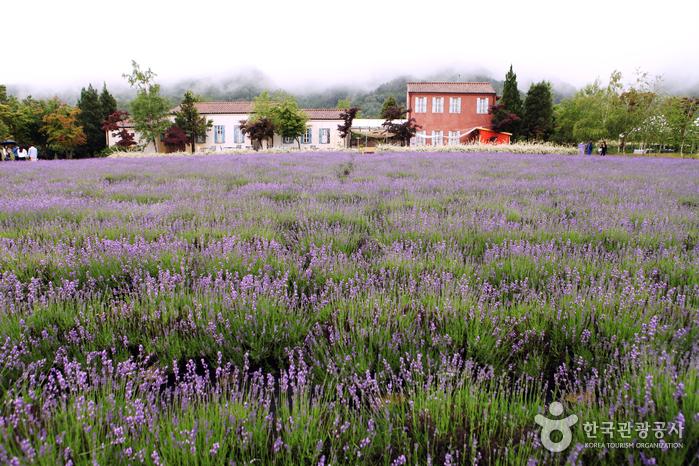 Hani Lavender Farm (하늬라벤더팜)