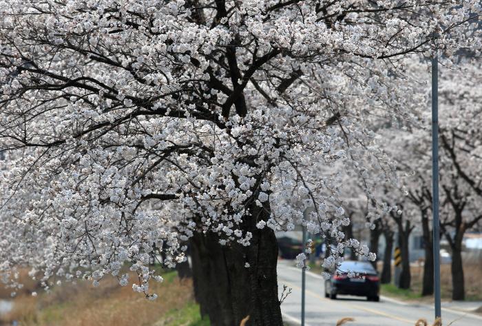 천안 위례벚꽃축제 2019