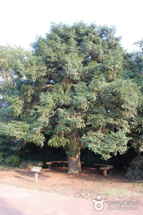 Wald Bijarim (비자림)