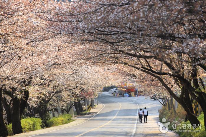 Simni (10ri) Cherry Blossom Road (십리벚꽃길)