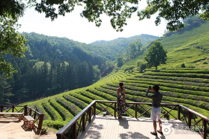 Daehan Dawon Tea Plantation (대한다원)