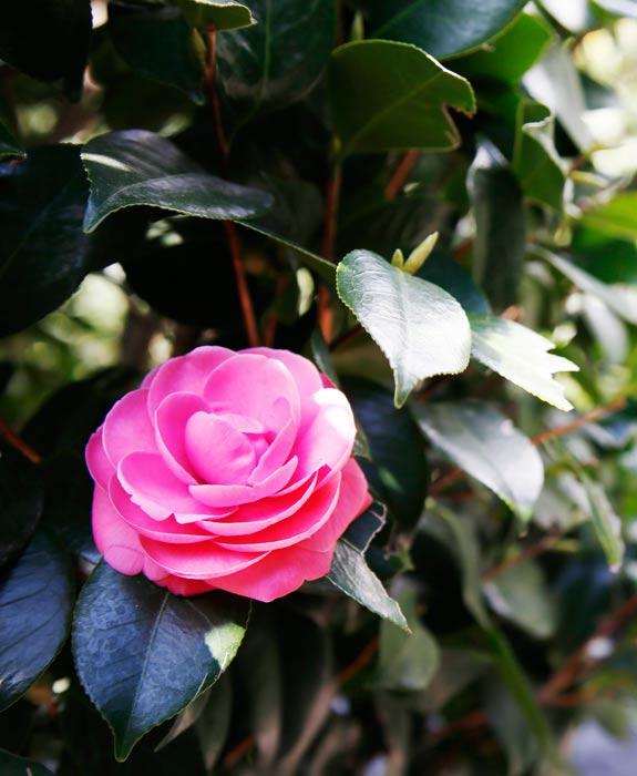 감귤 따기 체험과 추운 겨울에 만나는 동백꽃
