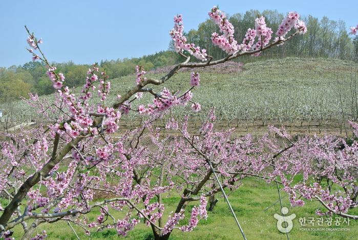 하얀 배꽃, 분홍 복사꽃과 함께 보내는 봄, 영동 매천리 배밭