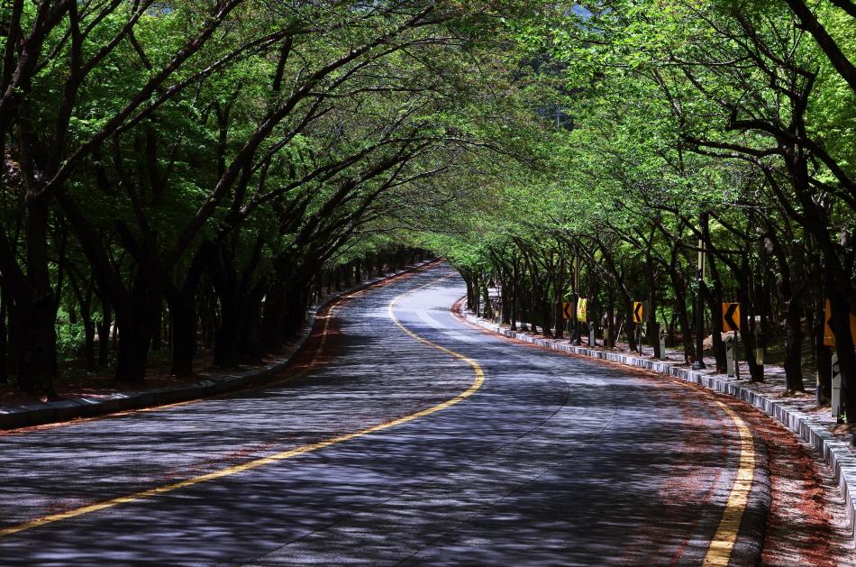 용수동 팔공로 벚나무길