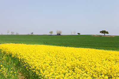 싱그러운 초록물결 일렁이는 고창 청보리밭 사진