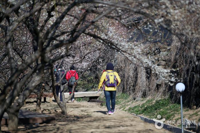 매화나무 사이를 걷는 여행객