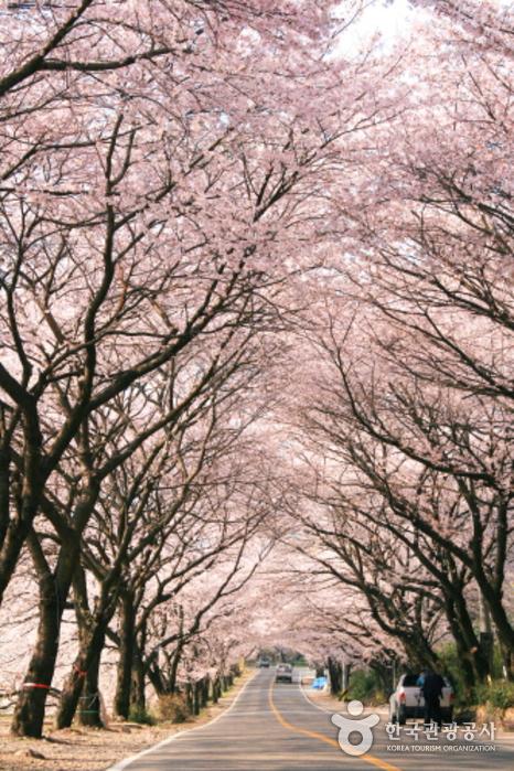 十里桜並木(십리벚꽃길)