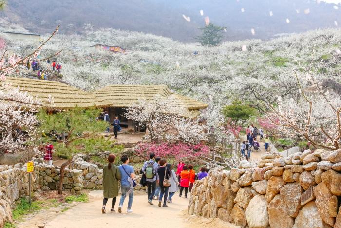 Aprikosenblütenfestival Gwangyang (광양매화축제)
