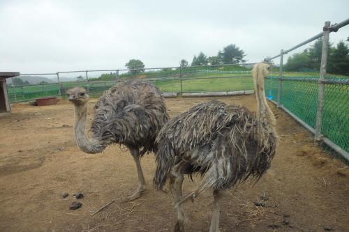 Daegwallyeong Donkey Ranch Don Quixote (대관령당나귀목장 돈키호테)