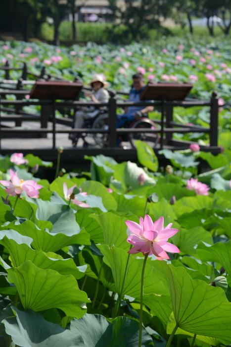 연꽃이 만발한 강주연못