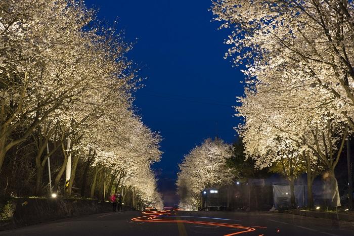 驪州 興川南漢江桜祭り(여주 흥천남한강벚꽃축제)