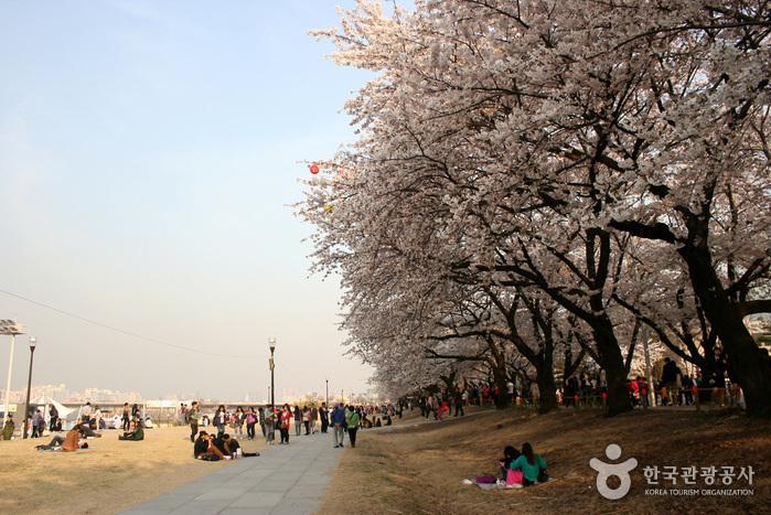 영등포여의도봄꽃축제 2017 사진8