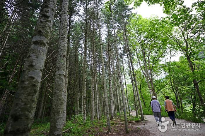숲이 우거진 오대산 선재길