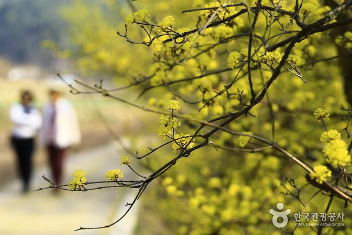 봄날의 기지개 활짝! 의성 산수유꽃피는마을에서 알리는 봄의 시작 사진