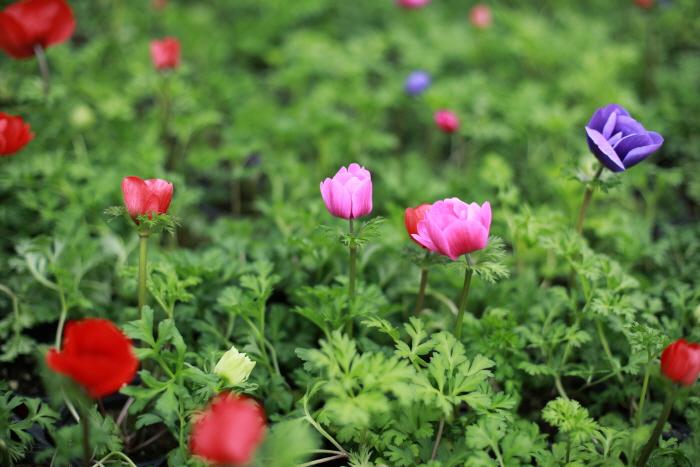 퍼스트가든 봄꽃축제 - 블루밍가든 2020
