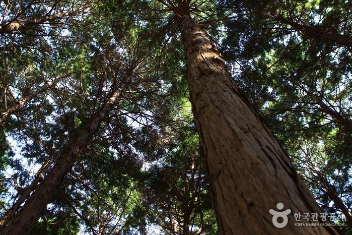 두동편백나무숲