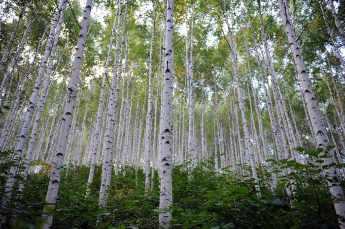 麟蹄院垈里白樺林(인제 원대리 자작나무 숲)5