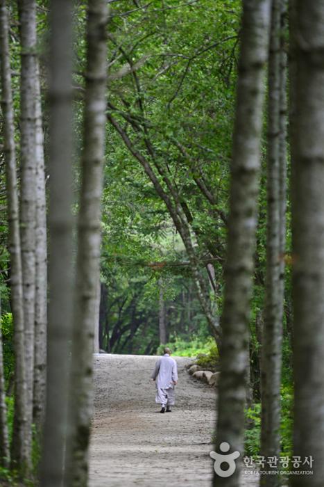 오대산 선재길의 자작나무숲