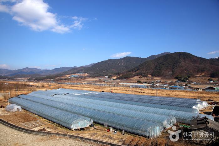 거창은 천여 m의 높은 산에 둘러싸인 천혜의 딸기 산지다.