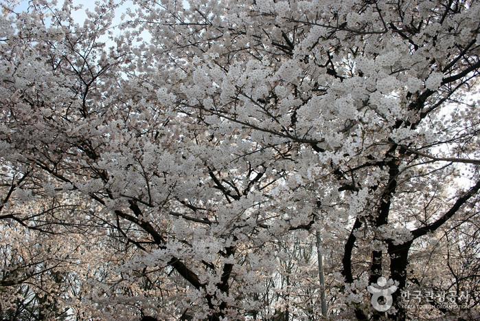영등포여의도봄꽃축제 2017 사진9