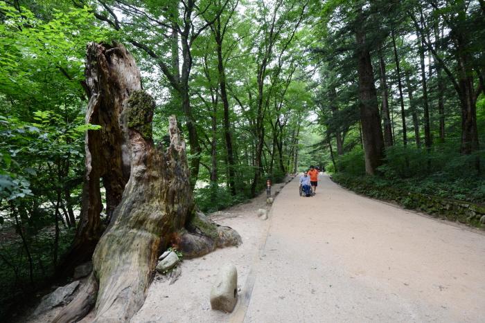 월정사 전나무숲길 무장애 탐방로