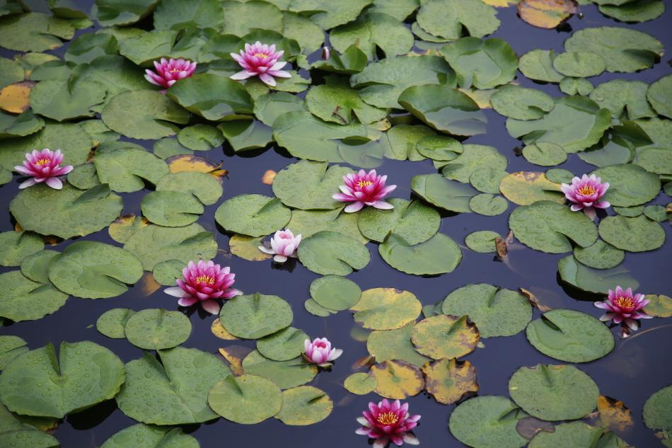 수련 꽃이 만발한 선흘반못