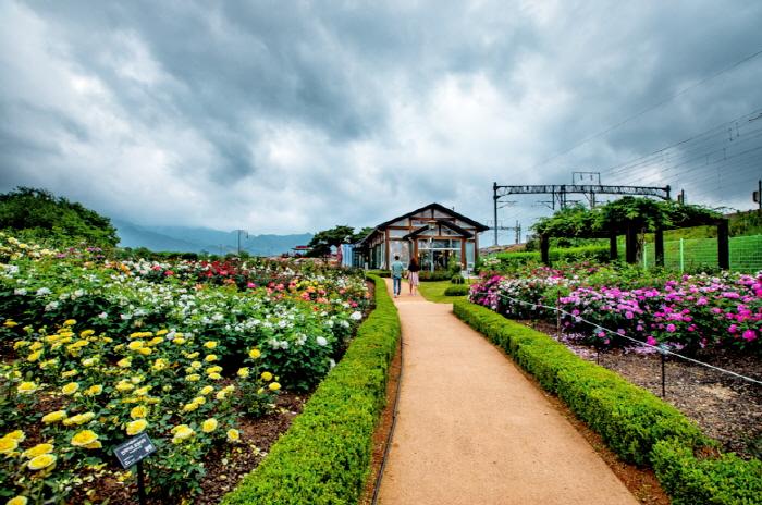 Международный фестиваль роз в уезде Коксон (곡성 세계장미축제)7