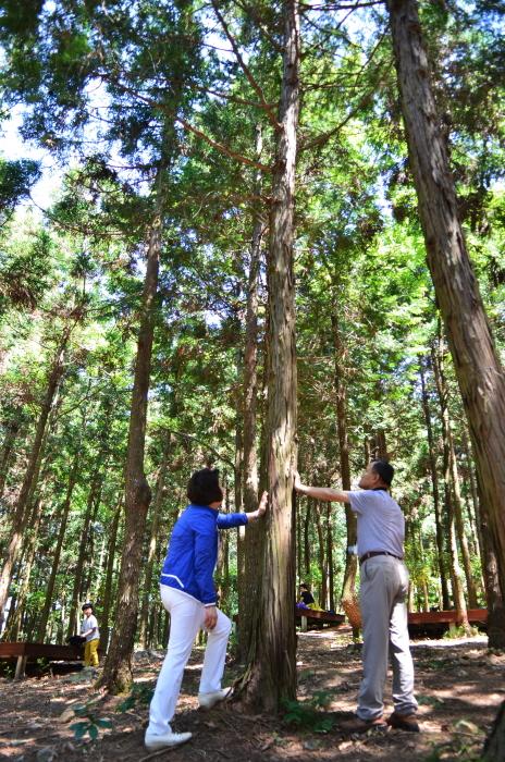 피톤치드를 방출하는 편백나무