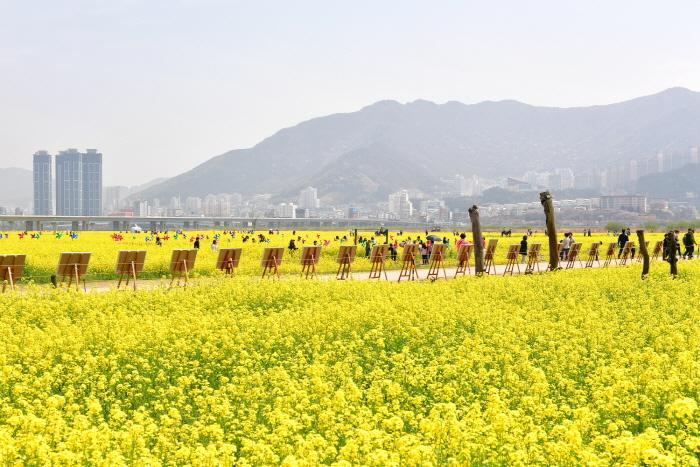 부산 낙동강 유채꽃 축제 2017  사진3