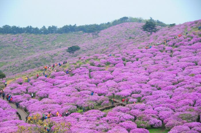 Hapcheon Hwangmaesan Royal Azalea Festival (합천 황매산 철쭉제)