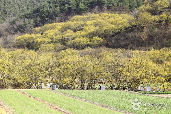 푸른 마늘잎과 어우러진 노란 산수유꽃