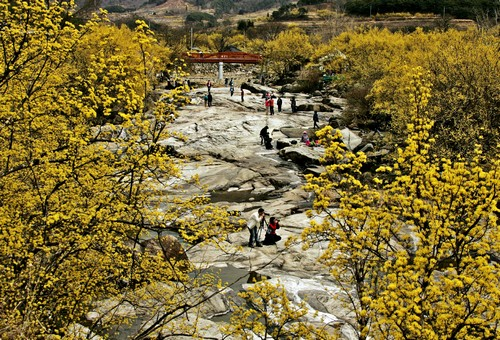 Gurye Sansuyu Festival (구례산수유꽃축제)