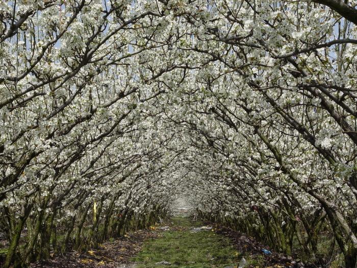 봄꽃에 눈이 환하고 봄맛에 입이 즐겁고, 충북 영동