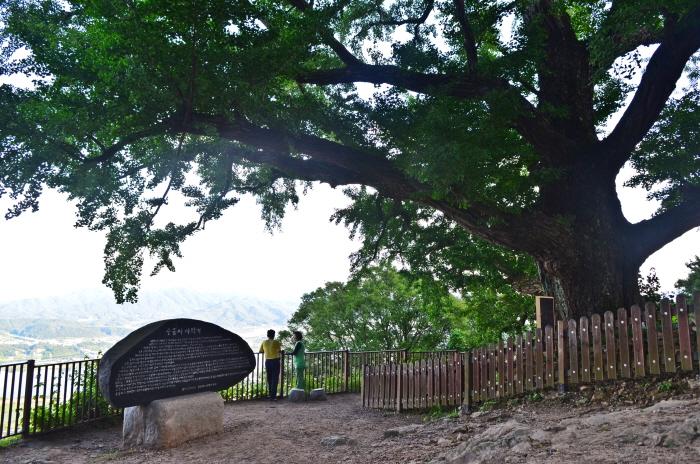 수령 500년의 은행나무
