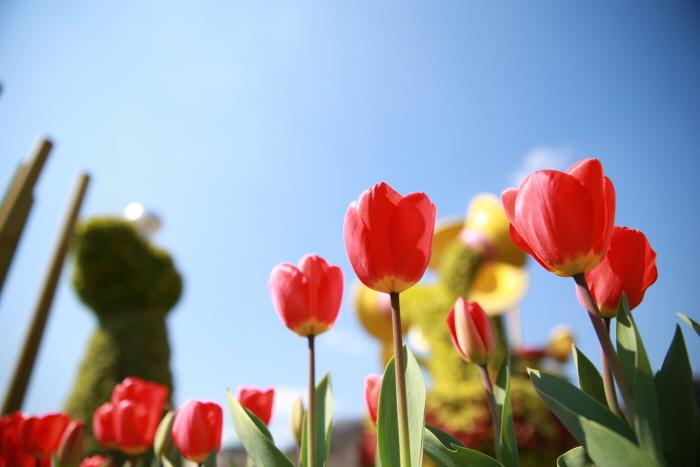 Everland Tulpenfestival (에버랜드 튤립축제)