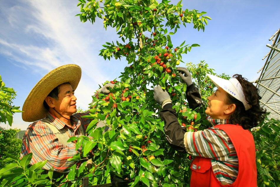 살이 포동포동 오른 대추를 수확하는 모습 _사진 제공 보은군청